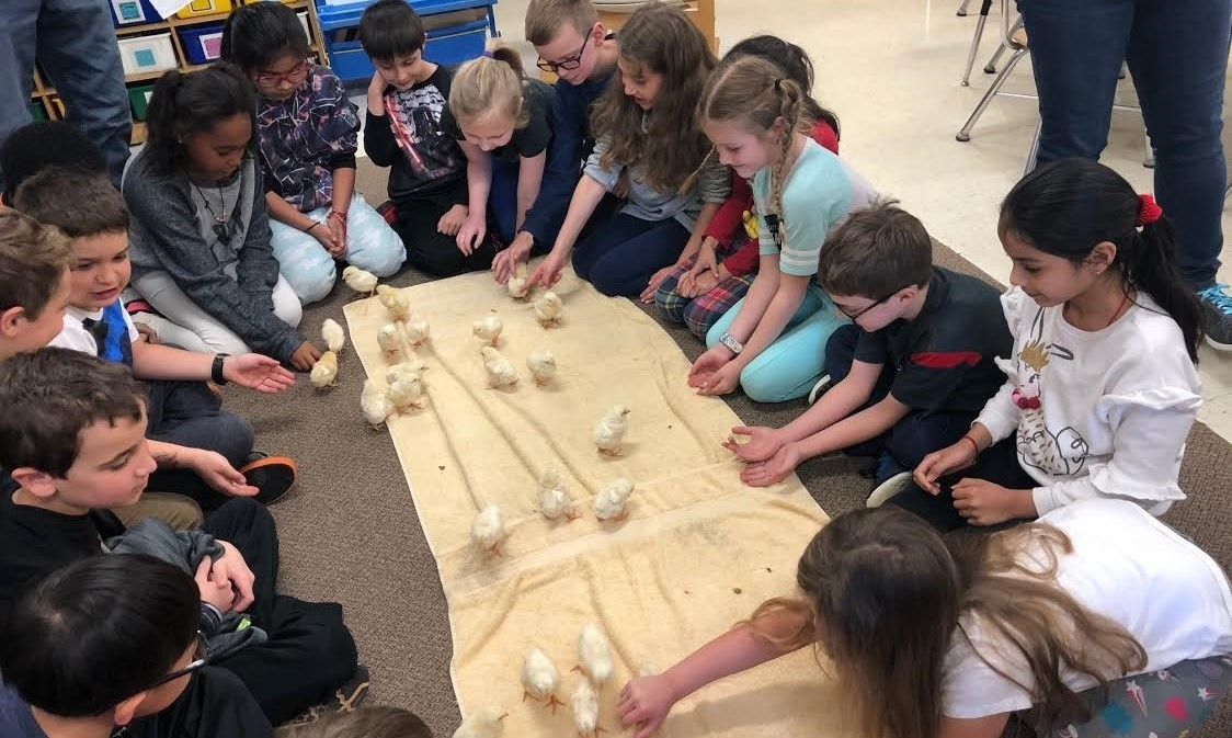 Students watching baby chicks